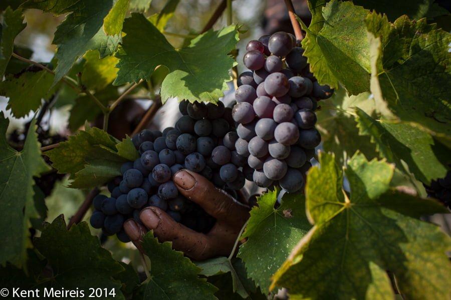 Italian-Wine-grape-harvest-hand-picture