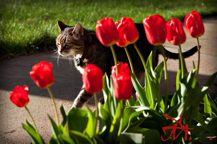Chinle tip toes past the tulips.