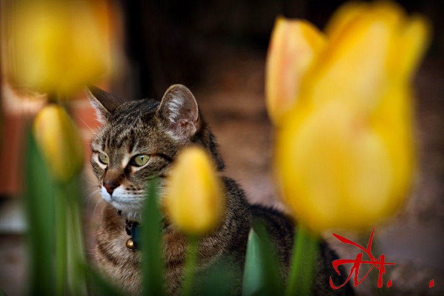 Chinle hides behind the tulips.