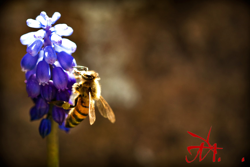 A honey bee on a grape hyacinth in our front garden.