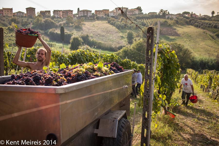 Italy-Wine-grape-harvest-Picture